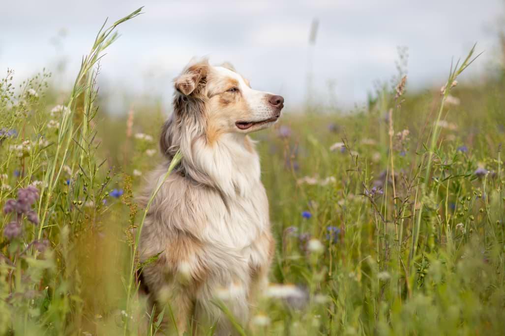 Mira in einer Blumenwiese