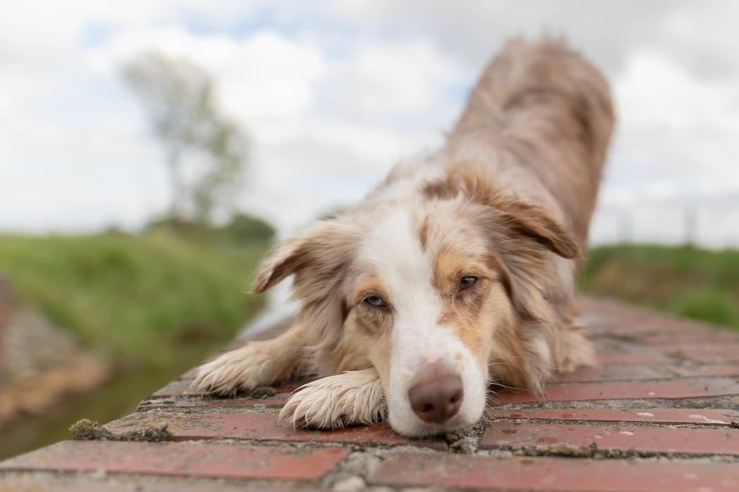 Hund verbeugt sich