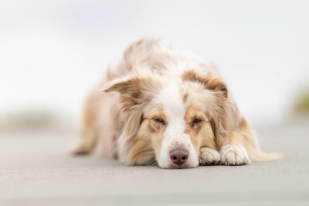 Hund legt Kopf ab