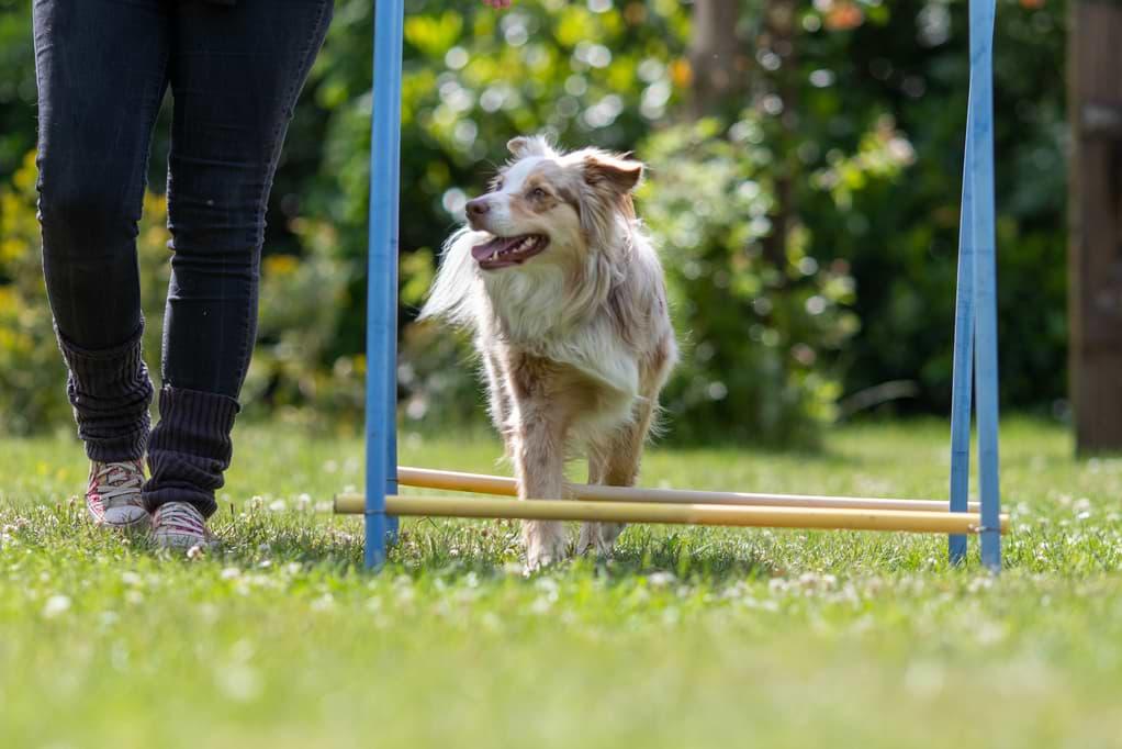 Cavalettitraining zum Muskelaufbau beim Hund