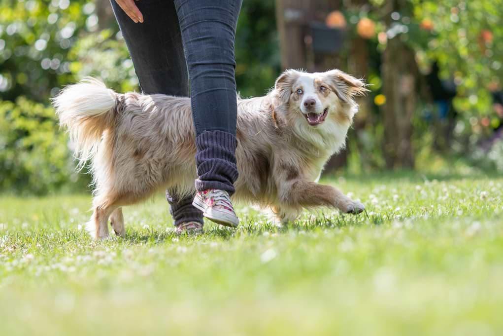 Hund macht Slalom durch Beine