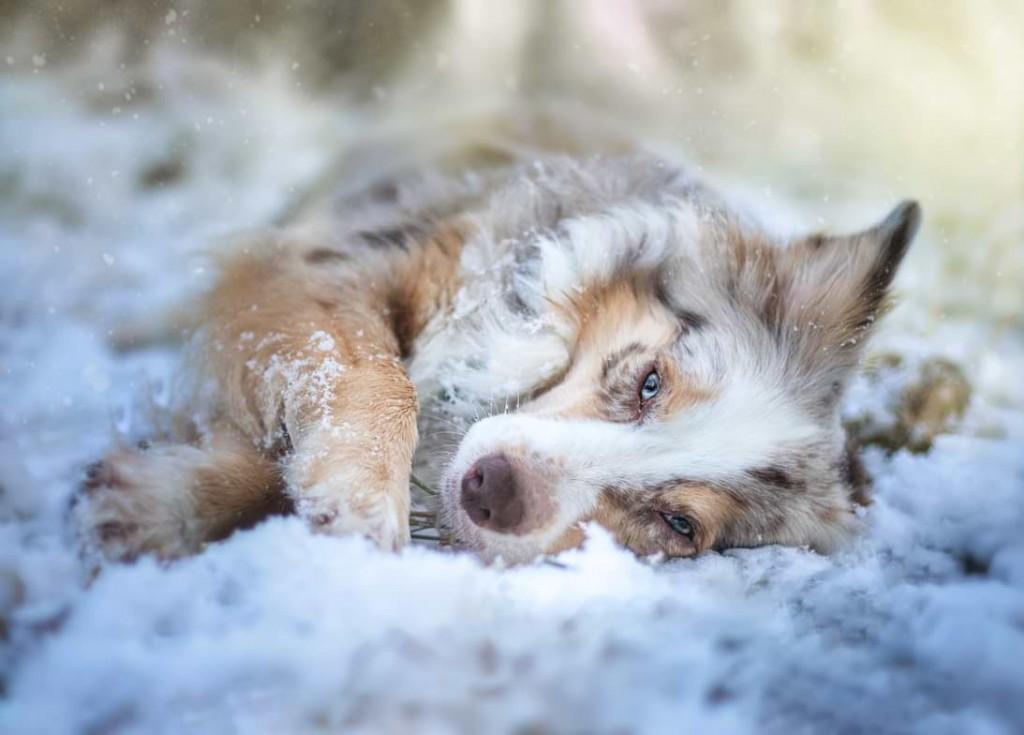 Mira liegt im Schnee