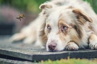 Bienenstich beim Hund