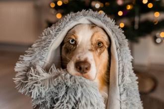 Hund beschäftigen mit einer Decke