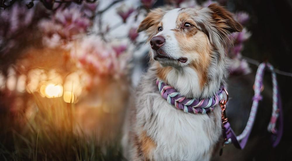 Precious Collars